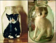kitten, tuxedo cats, picture this, silly cats, funny cats, milk bottles, cat facts, mason jars, baby cats