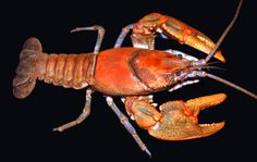 """New crayfish discovered in West Virginia. The common name for a newly discovered crayfish species is the """"Tug Valley crayfish,"""" but West Virginians might find more amusing the creature's scientific name -- Cambarus hatfieldi, named for the feuding Hatfield family from that region."""