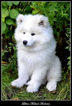 Samoyed Puppy... I love these little polar cub baby look alikes :)