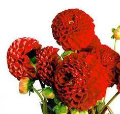 red ball dahlias