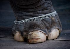 elephants, animals, bracelets, eleph foot, vintage circus, incredible india, toes, anklets, eric lafforgu