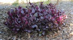 Alternanthera dentata 'Little Ruby' 30cmx90cm sun/part shade, protect from frost, well drained moist soils