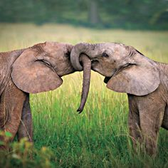 Two African elephants. (Photo by Piotr Gatlik/123RF/National Geographic)