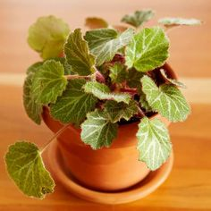 Strawberry Begonia is a great terrarium plant