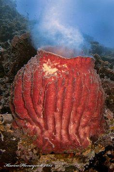 Barrel Sponge Spawning - Banda Sea, Indonesia by Karen Honeycutt, via Flickr