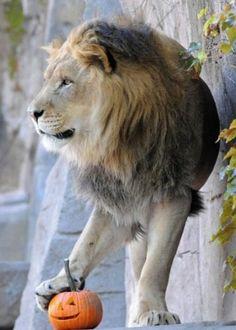A Lion & his Pumpkin