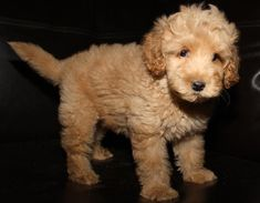 Labordoodle puppy!!-- my dream family pet. But any adopted dog will be fine