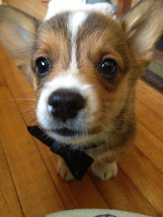 corgi addict, anim pictur, corgi puppies, anim dog, dog corgi, corgi cuti, corgi amor, close, corgi tobia