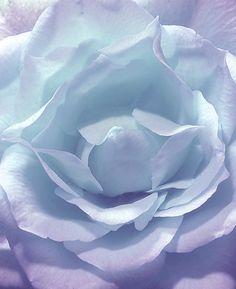 Beautiful periwinkle rose