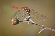 Red dragonfly - Photo by Claudio Cavalensi