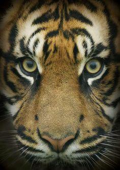 Tiger Portrait - Very Nice Shot !