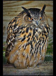eagle owl.    <3