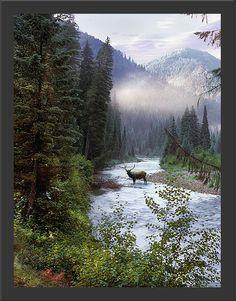 Elk in Idaho wilderness VisitIdaho.org #elk #idaho