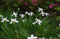 Japanese Roof Iris (tectorum)