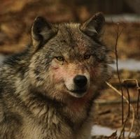 "More to the story. . . .""Dogs Hunting Wolves in Wisconsin? 