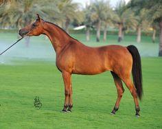 Arabian mare Aria Marquesa