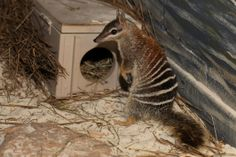 Meet six year old Tahni, the first Numbat to be on display in Victoria. You can see her in the nocturnal house at Healesville Sanctuary. Healesville Sanctuary is open every day of the year.