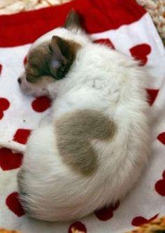 heart shaped chihuahua