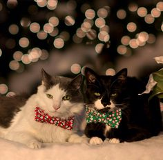 Xmas cat photoshoot