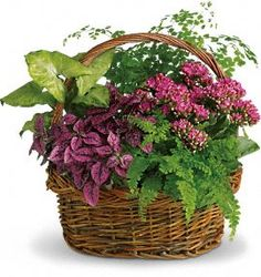 Secret Garden Plant Basket~This lush garden arrangement features delicate fern fronds mixed with green tropical plants, colorful kalanchoe, african violet or other colorful indoor plants.