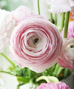 / / Renoncules / / Rose / / Pastel / /