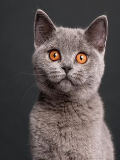 The British Shorthair is native to England. With the rise of cat shows during the Victorian era, cat fanciers began to breed the cats to a particular standard and keep pedigrees for them. At the earliest cat shows, British Shorthairs were the only pedigreed cats exhibited. All others were simply described by coat type or color.