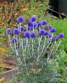 "Echinops ritro ruthenicus. Undemanding, unfazed by heat & happy as a clam in ordinary soil with some drainage, ""Globe Thistle"" is a simple to grow, magnetic choice for the dry garden. Impressive, 3"" across, richly colored blue ""golf balls"" stand out on strong multi-branching ghostly white stems above finely cut, shimmery silver foliage to 2' across. Mid-Summer to Fall blooms."