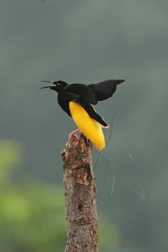"""A twelve-wired bird of paradise on his display pole."""" by National Geographic"""