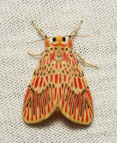 Footman Moth (Barsin