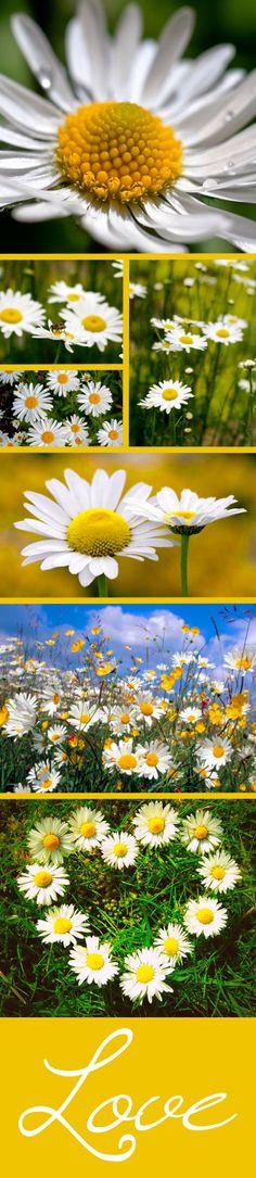 Daisies!  And more daisies!