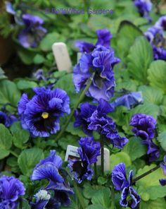 blue ruffled-edged pansies
