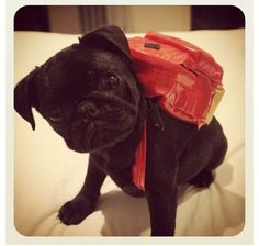 little red, pug puppies, pet, amin, backpack, ador, 1st day, dog, back to school