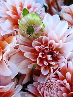 Dahlias by laura.bell
