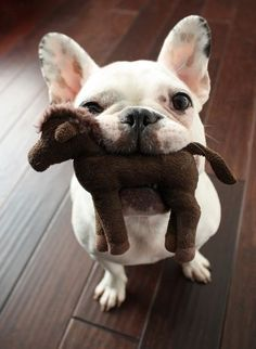 frenchie carrying a stuffed horse