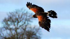 A harris hawk in flight.