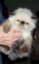 Himalayan kitten in white, brown colors.PNG