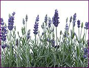 Lavender Essential Oil Profile includes uses, constituents, aromatic description, extraction method, latin name, safety info and references.