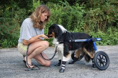 Dog Wheelchairs like the adjustable Walkin' Wheels can be ordered with one simple measurement and ship fully assembled same day.