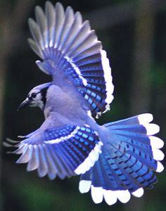 Flying Blue Jay Tattoo