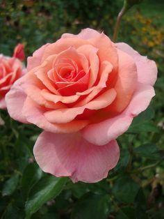 ~Rose 'Tournament of Roses' Rosa~
