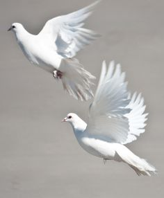 Beautiful Doves in Flight  ♥ ♥ www.paintingyouwithwords.com