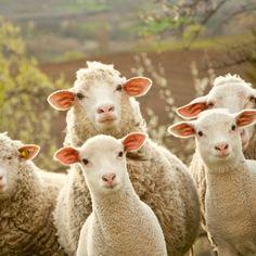 White Sheep with Airplane Ears