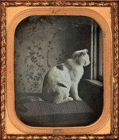 ca. 1850, [daguerreotype portrait of a cat at the window]