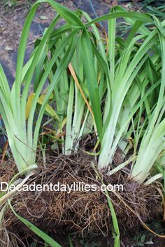 Step By Step How to Divide Daylilies