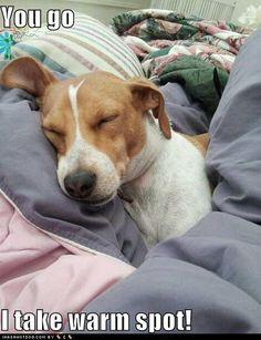 beagles funny, anim, beds, beagle dogs, pet