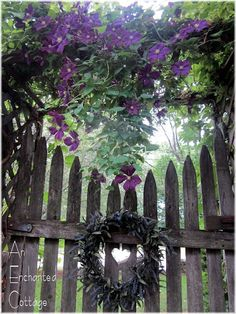 The clematis that covers the arbor over our old garden gate