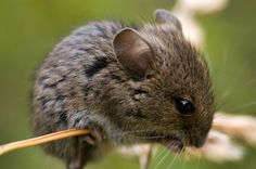 A field mouse... such lovey dark eyes and long whiskers.