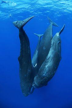 Four sperm whales & a tiny little man.
