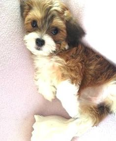 havanese puppies - Google Search