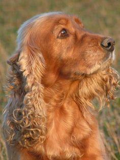 My dog english cockerspaniel Dona